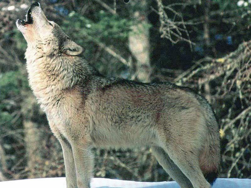 grown_wolf_9y4b[1]